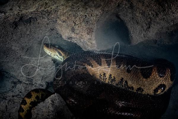 Female Anaconda