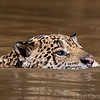 While boating back to the lodge for lunch on the 3 Brothers River we spotted a jaguar swimming downriver searching for caimans. We quietly floated along with the old male for several hundred yards until he swam across the river in front of us into a side channel. Photo by Ken Campbell taken in Brazil's Pantanal in Aug. 2018.