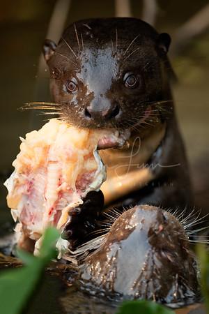 Creepy Otter Stare