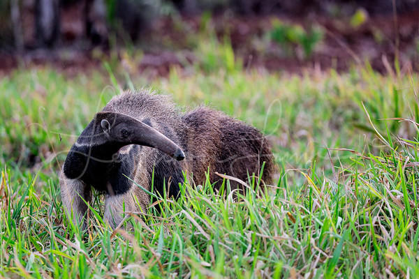 Giant Anteater in the grass