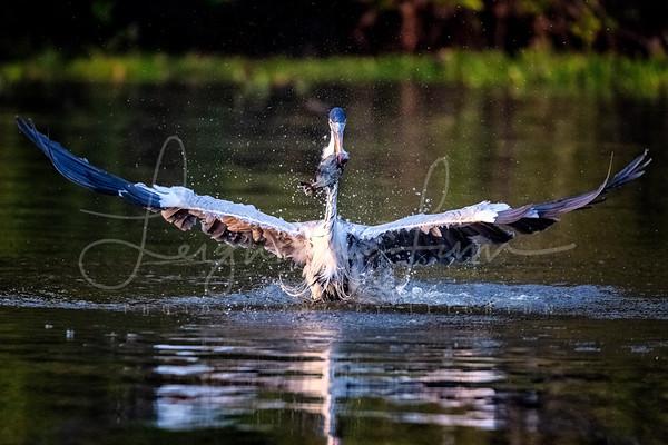 Heron Dive