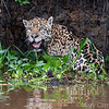 While boating on the 3 Brothers River system our boat driver spotted this jaguar sitting in the water. I was able to capture this image before it quickly disappeared into the woods. Photo by Mary Campbell taken in Brazil's Pantanal in Aug. 2018.