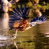 Blk collared Hawk fishinig
