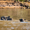 Mom and cubs crossing the river