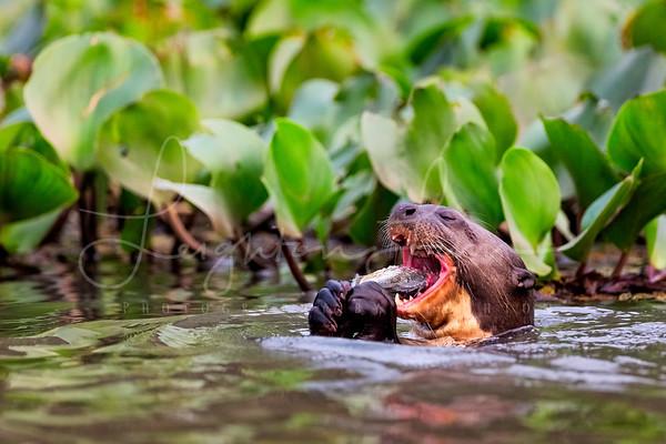 Giant River Otter Pirahna