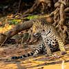 Queen of the Pantanal