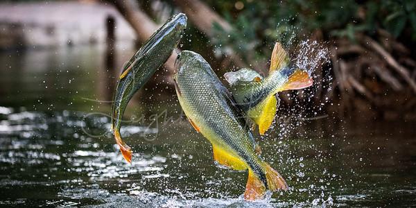 3 fish 1x2