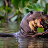 Giant River Otter-2