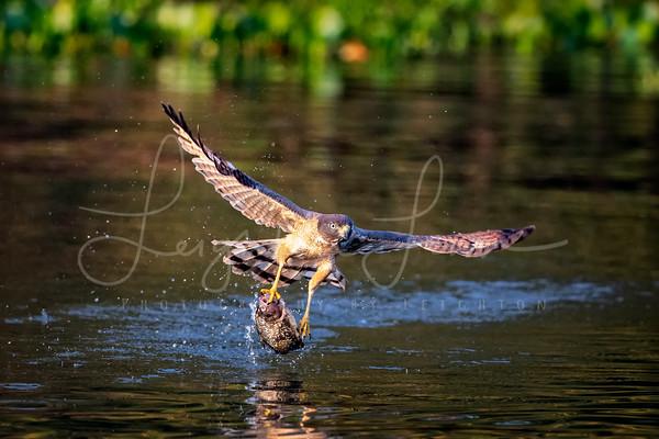 Fishing Hawk
