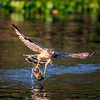 Fishing Hawk