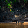 Jaguar in the Pantanal 2