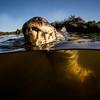 Caiman swimming 2