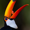 Toucan Close up