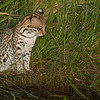 We found this Ocelot while night spotting. It was fishing near a river with another Ocelot - they were probably a mother and cub. Taken near Caiman Lodge in the Southern Pantanal, Brazil, by Debbie Thompson on May 17, 2014.