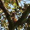 Black tailed marmoset