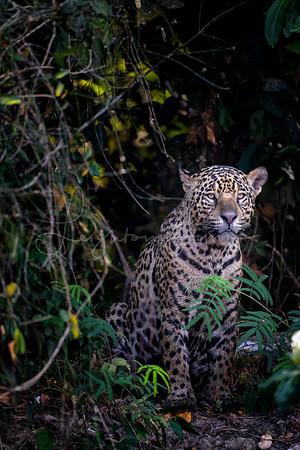 Lurking in the Pantanal