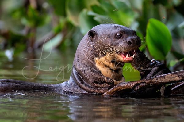 Giant River Otter-1
