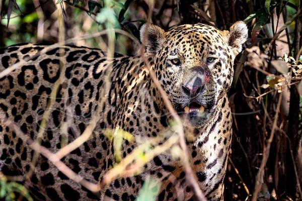Big Male Jaguar