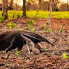 Giant  Anteater at sunset