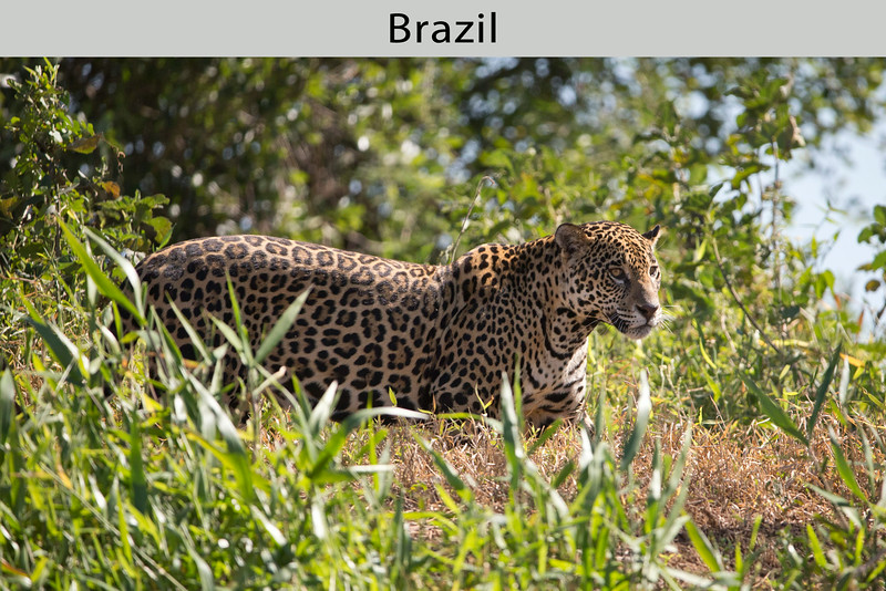 We were lucky to find a Jaguar resting on the Cuiaba River bank where it is cool. The Pantanal is the only place in the world where we have a high probability of seeing Jaguar. By Doug Cheeseman on August 15, 2013.