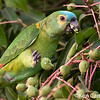 This blue-fronted parrot was feeding on young mangoes as we drove along the road in one of the agricultural areas in the Caiman Ecological Refuge. Photo by Ken Campbell taken in Brazil's Pantanal in Aug. 2018.
