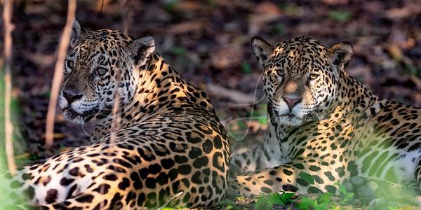 Double Jaguar 1x2
