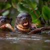 2 Giant River Otter_