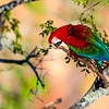 Red and Green Macaw sitting