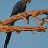 A Hyacinth Macaw watches us from a tree. This area is famous for these macaws who are listed as threatened by the IUCN. Photographed in the Northern Pantanal (Transpantaneira Road area), Brazil by Debbie Thompson on August 27, 2011.