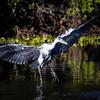 Flight Herring