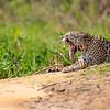 Jaguar yawn