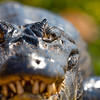 Close up Caiman