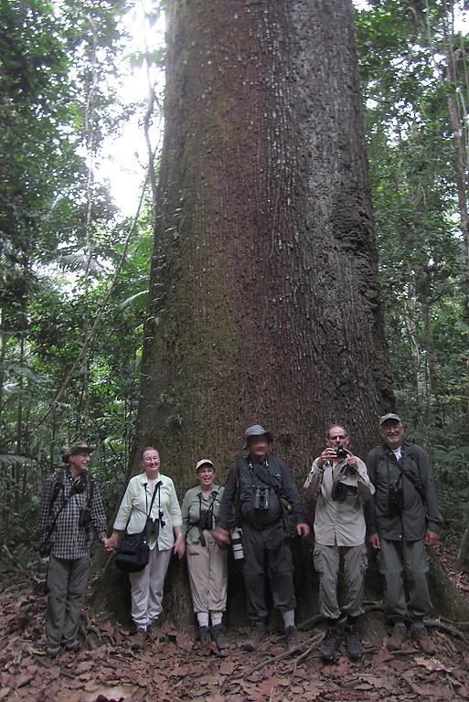 A large Brazil Nut tree, Bertholletia excelsa, on the Castanera Trail, Cristalino Jungle Lodge