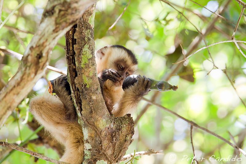 Brown Tufted Capuchin, Cebus apella