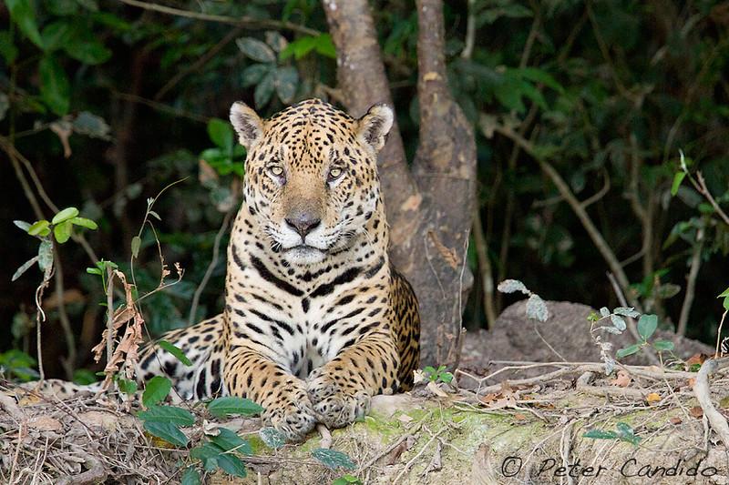 Jaguar, Panthera onca, male
