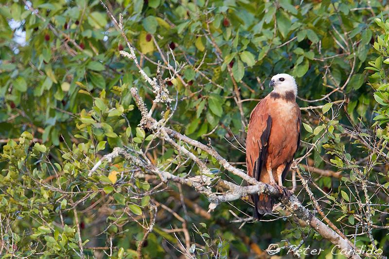 Black-collared Hawk, Busarellus nigricollis