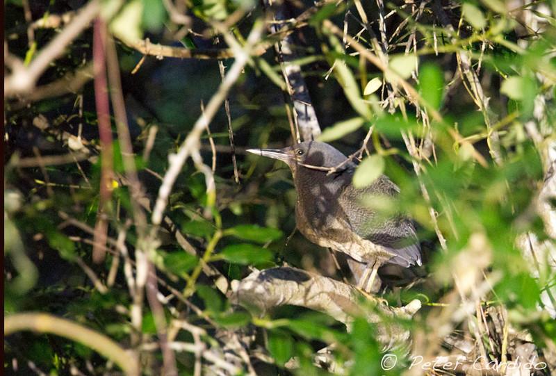 Zigzag Heron, Zebrilus undulatus