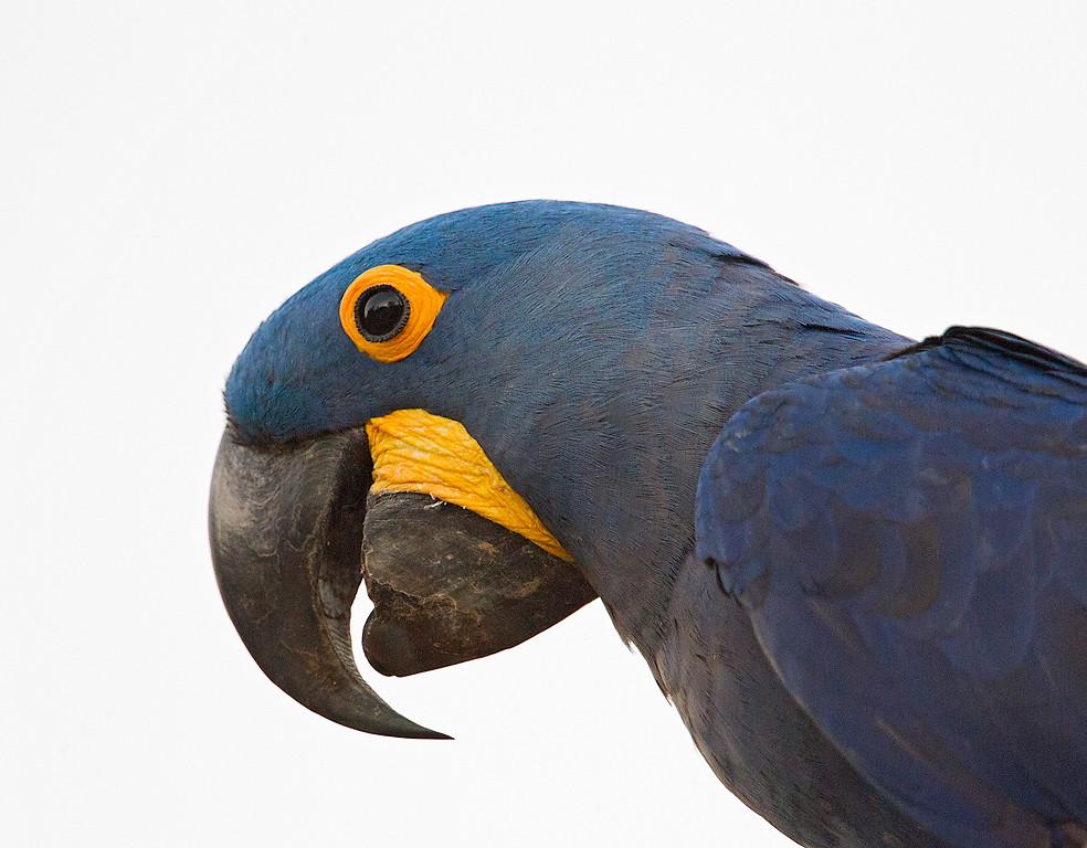 Hyacinth Macaw, Anodorhynchis hyacinthinus