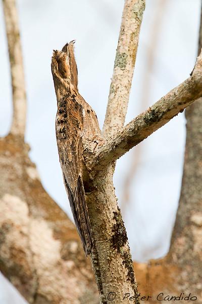Common Potoo, Nyctibius griseus