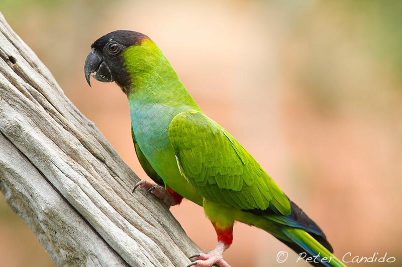 Nanday Parakeet, Nandayus nenday