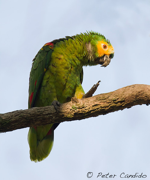 Turquoise-fronted Parrot, Amazona aestiva