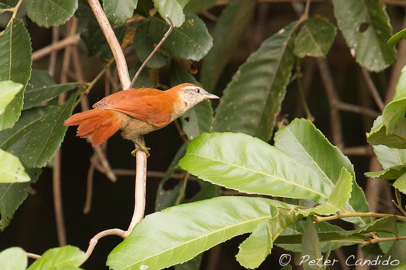 Rusty-backed Spinetail, Cranioleuca vulpina