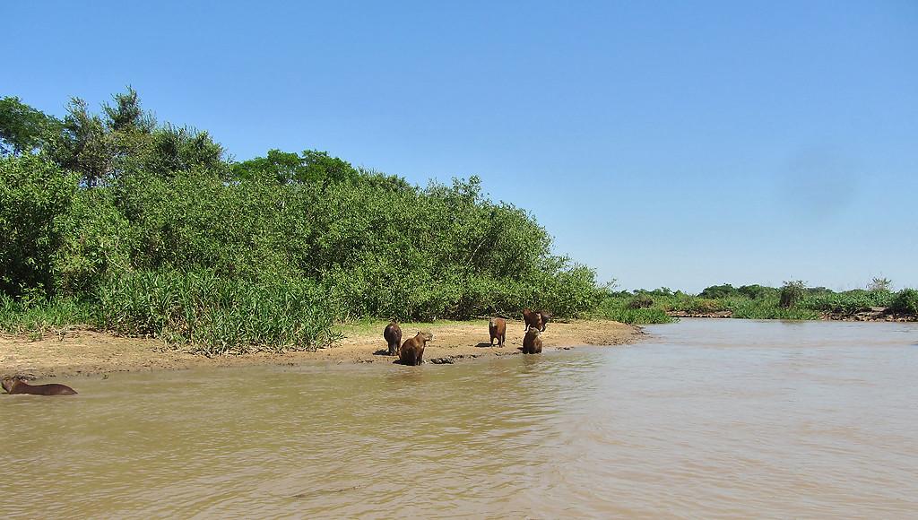 Capybaras on the river