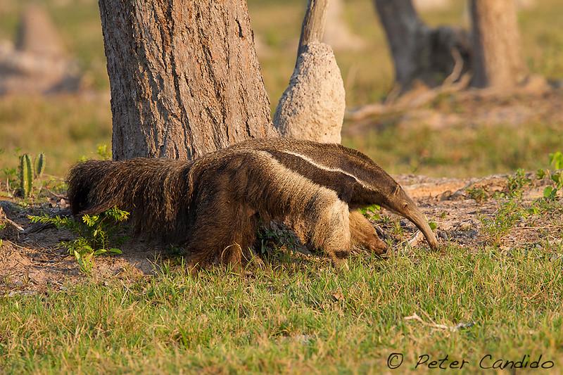 Giant Anteater, Myrmecophaga tridactyla