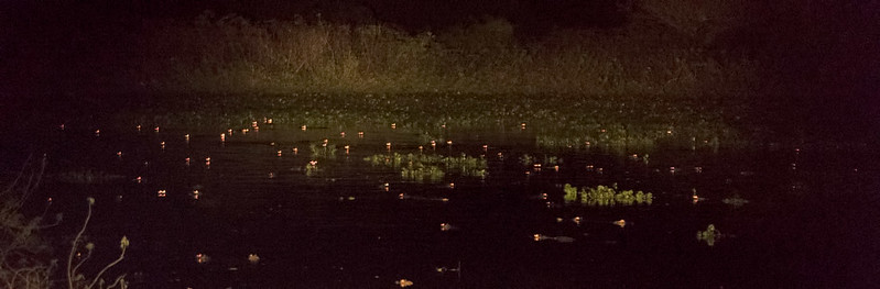 Caiman eyes reflecting back pre-dawn
