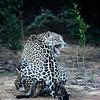 Jaguars mating