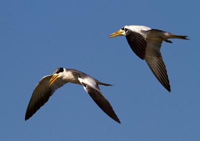 Pair of large-billed terns
