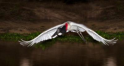 Jabiru stork heading for night roost