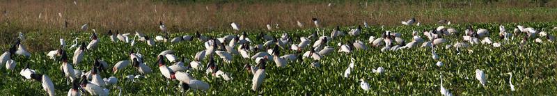 Jabiru Stork in dry season pond