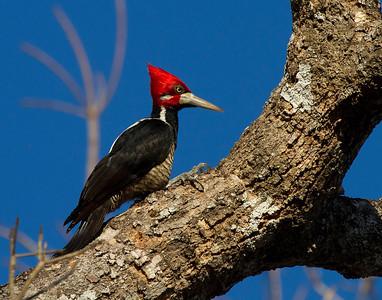 Male lineated woodpecker